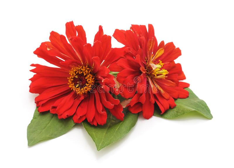 Bunch of red zinnia flowers stock image