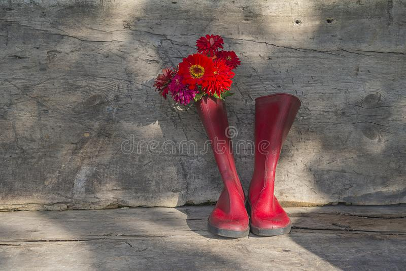 Bunch of red zinnia flowers in the red rubber boats on the rustic wooden background royalty free stock images