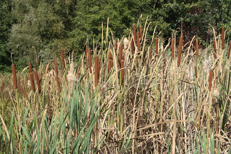 Bunch of reed. Autumn pond royalty free stock images
