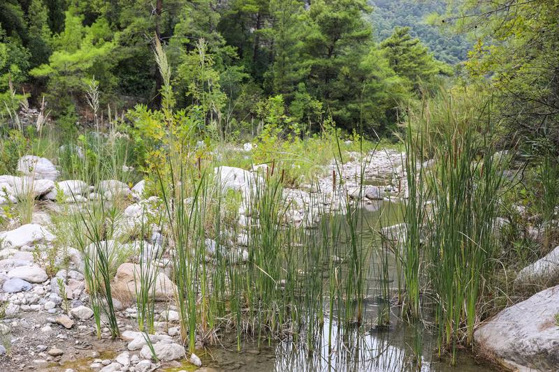 Bunch of reeds on small calm mountain river, flowing among forest. stock photo