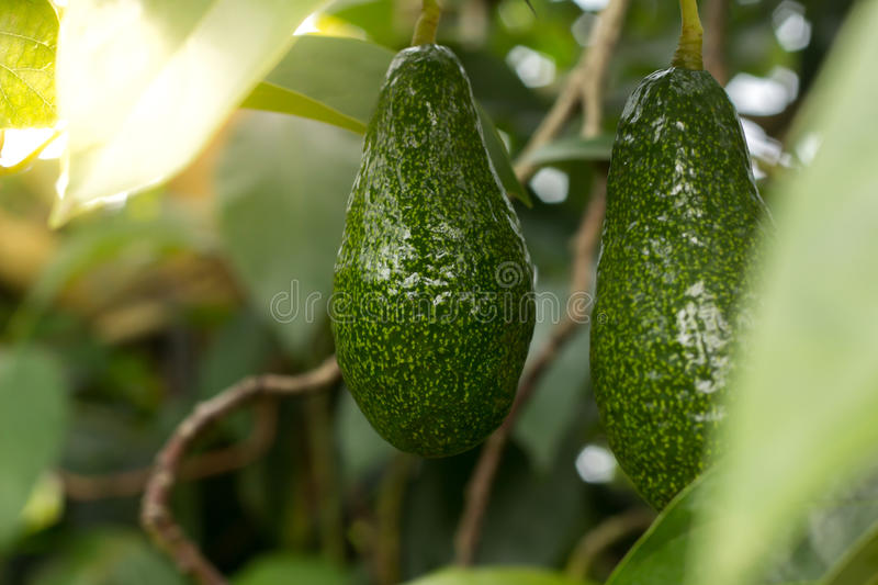 Bunch of ripe avocados on the tree stock images