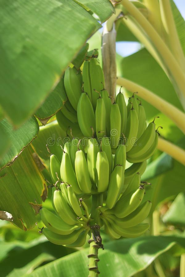 Bunch of ripe bananas on tree. Agricultural plantation at Spain island. Unripe bananas in the jungle close up. royalty free stock photo