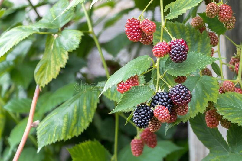 Bunch of ripe berries and unripe blackberries on a branch stock photography