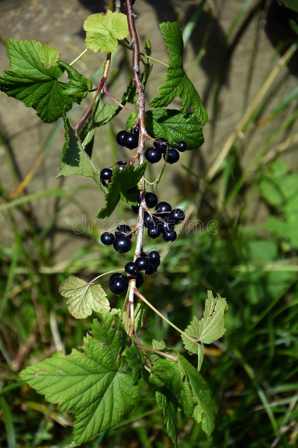 Bunch of ripe black currant royalty free stock image