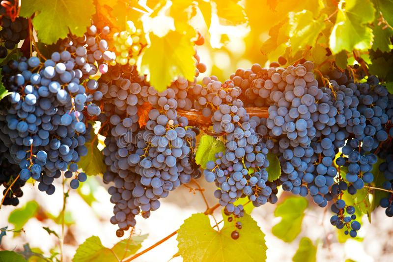Bunch of ripe black grapes. On the vine royalty free stock photography