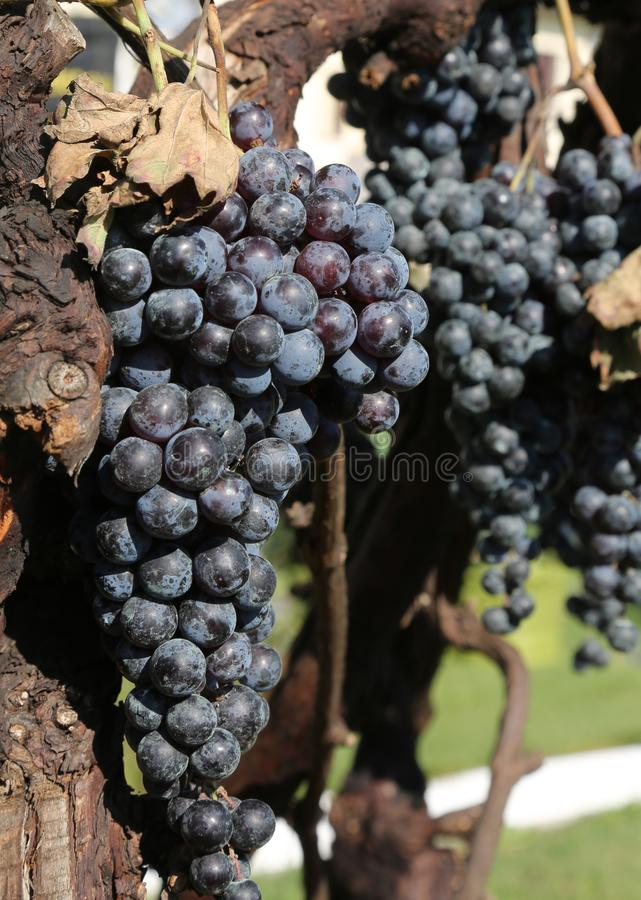 bunch of ripe black grapes in a vine stock photos