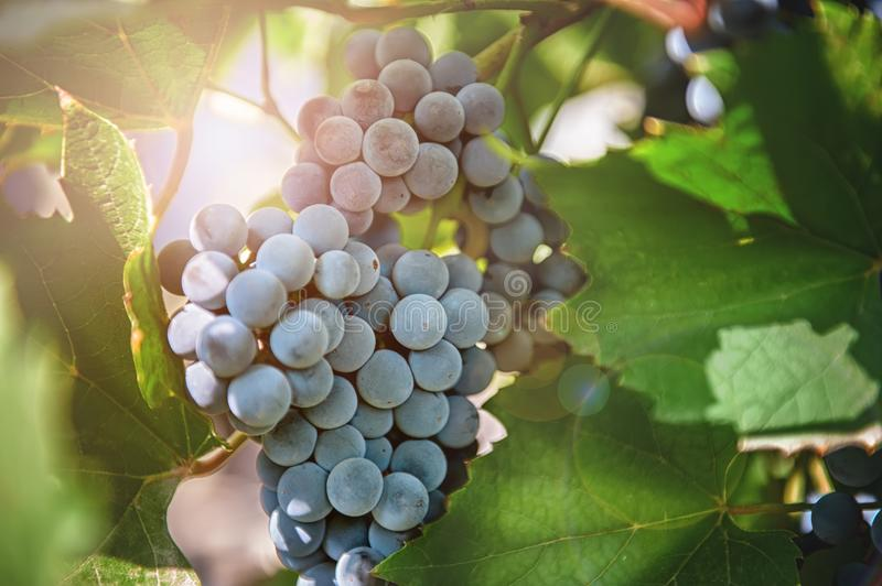 Bunch of ripe blue grapes in autumn, hanging on the branch of a vine in Sunny day . stock image