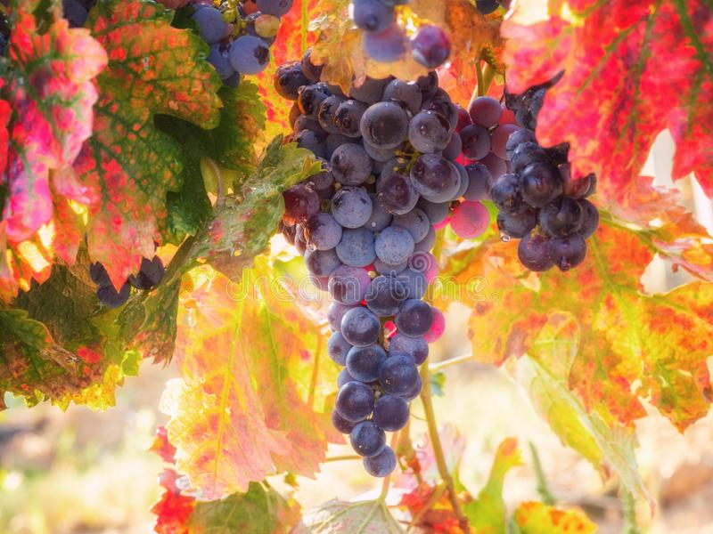 Bunch of ripe blue grapes with color autumn leaves, agricultural background of vineyard for winemaking stock images