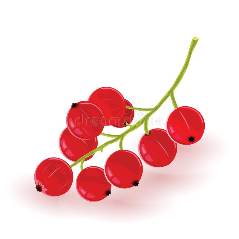 Bunch of ripe currant. Sweet red berries. Ingredient for vegetarian, vegan, diet kitchen. vector illustration
