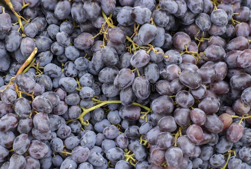Bunch of ripe dark blue grapes, high sharpness stock images