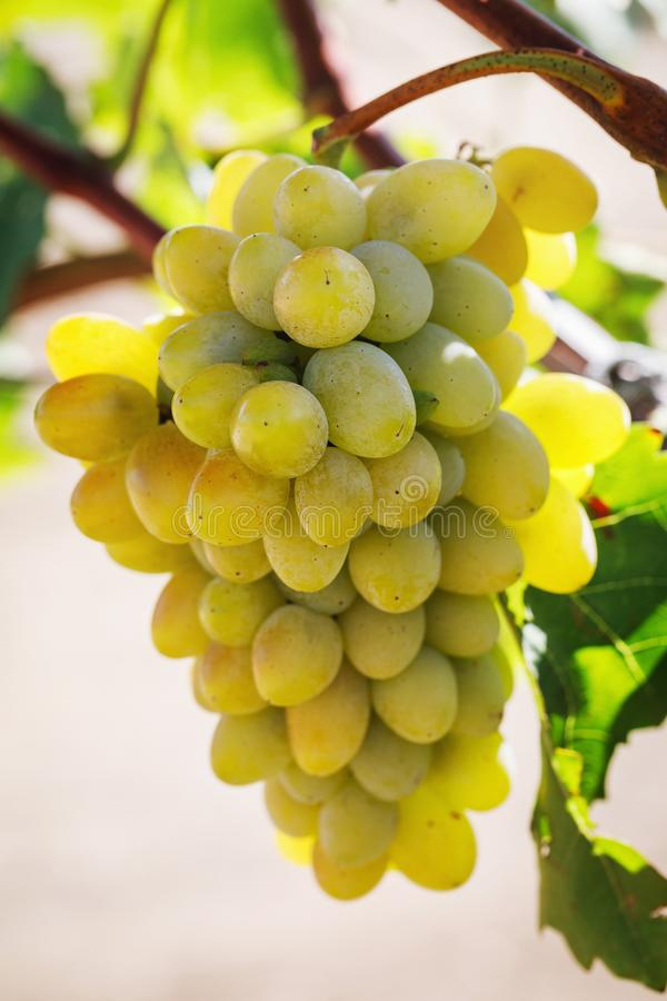 Bunch of ripe grapes stock photo