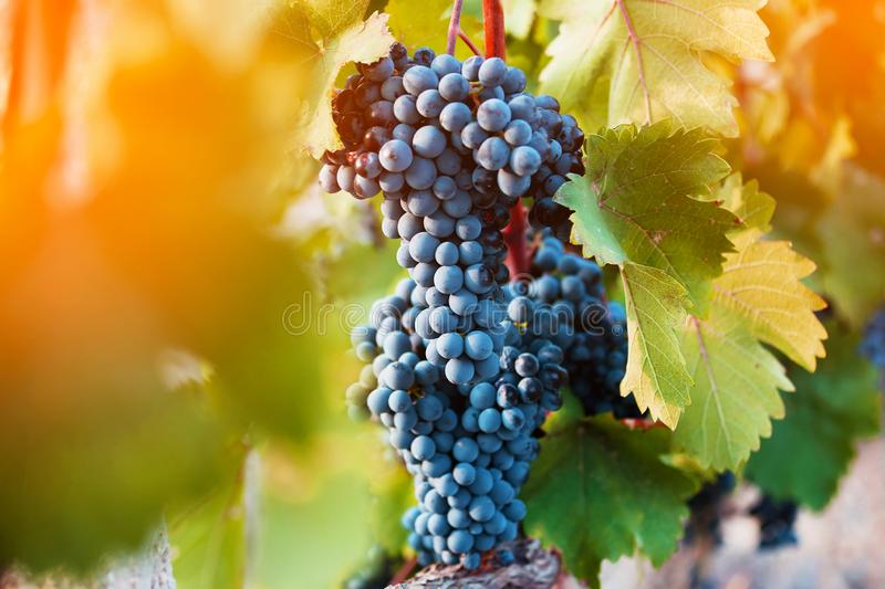 Bunch of ripe grapes. On the vine stock images