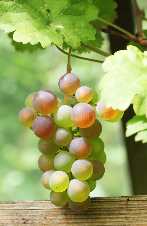 Bunch of ripe grapes in a vineyard. Bunch of ripe rose grapes in a vineyard stock photography