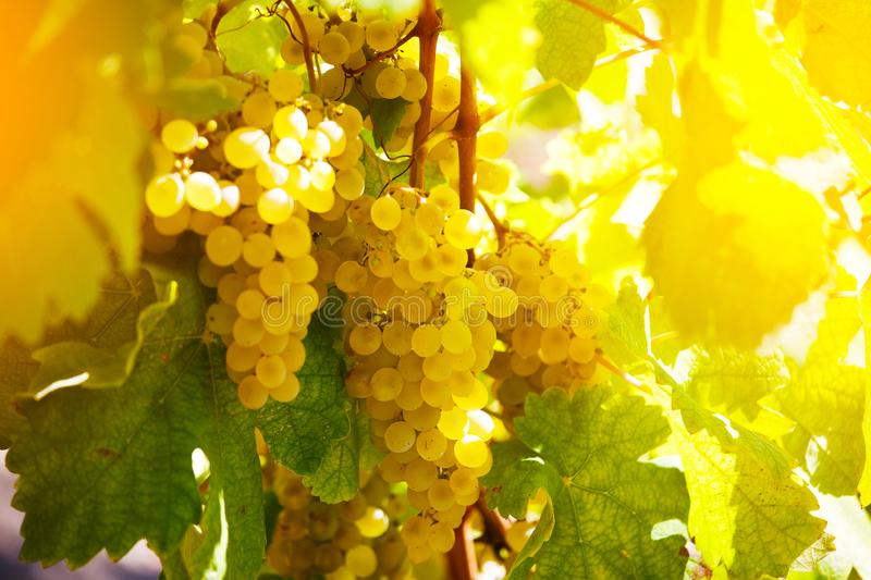 Bunch of ripe green grapes. On a vine stock images