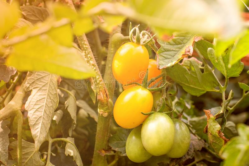 Bunch of ripe natural yellow tomatoes in water drops growing in a greenhouse ready to pick royalty free stock image