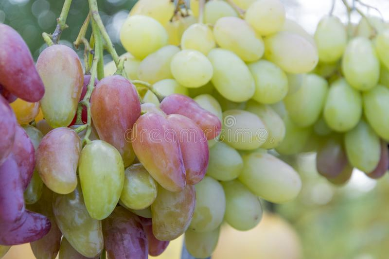 A bunch of ripe pink grapes for cooking wine and food hangs on a bush. Close-up. stock image