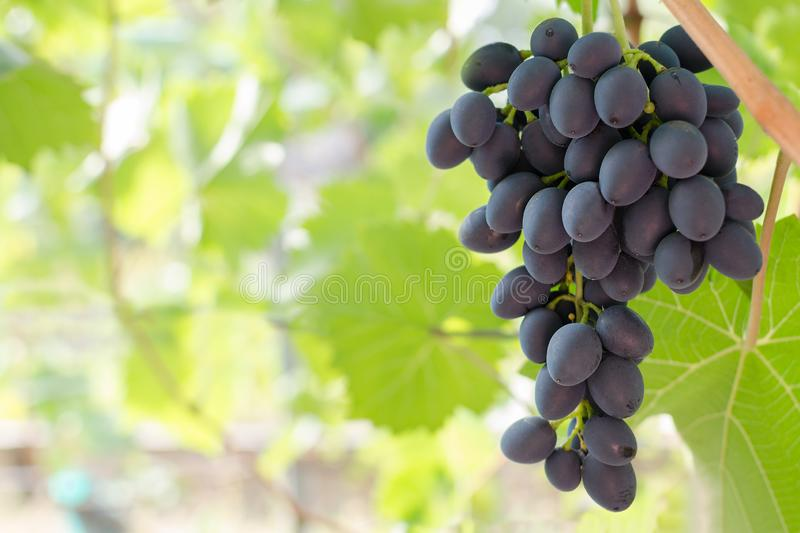 Bunch of ripe red grapes hanging from the vine, warm tone background. With empty place for text. Copy space royalty free stock image