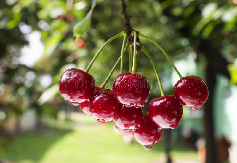 Bunch of ripe sour cherries hanging on a tree royalty free stock photos
