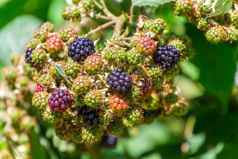 Bunch of ripe and unripe blackberries on the bush in the garden royalty free stock image
