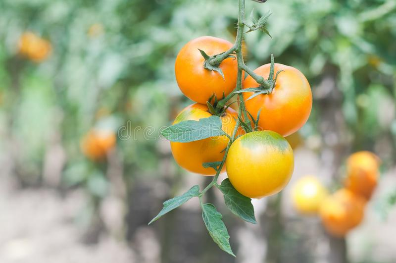 Bunch of ripe yellow tomatoes closeup on vegetable garden background stock photo