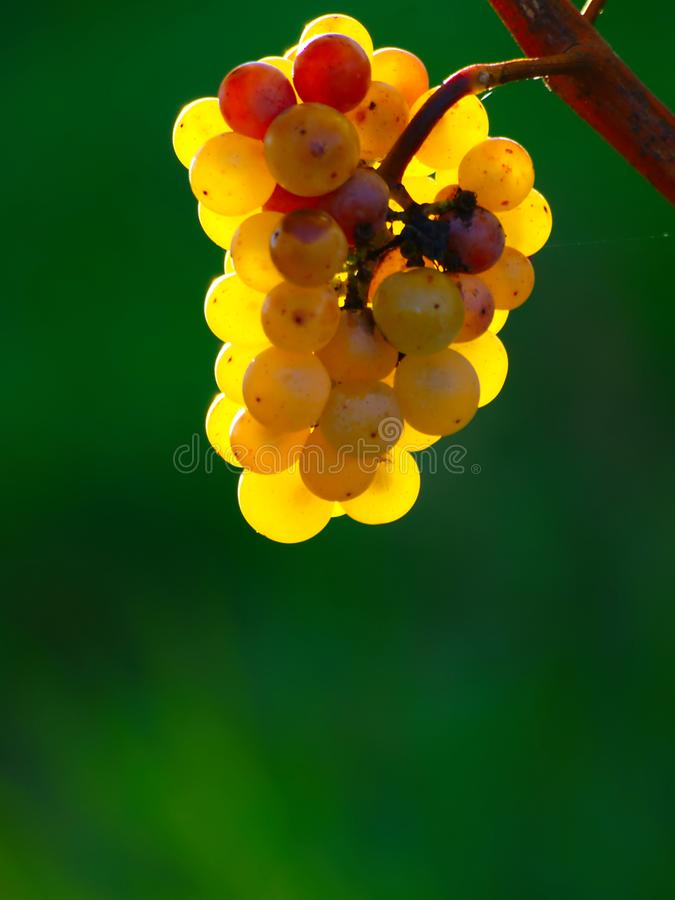 Yellow Wine Grapes. Bunch of ripe yellow wine grapes on green background in early autumn morning stock photo