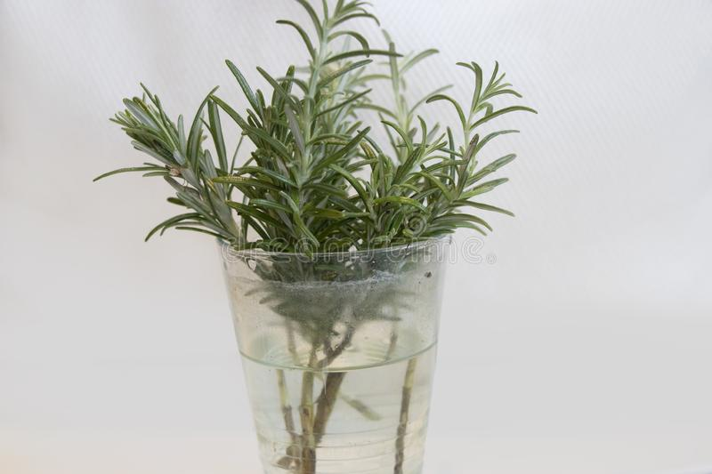 A bunch of rosemary in a glass stock photos