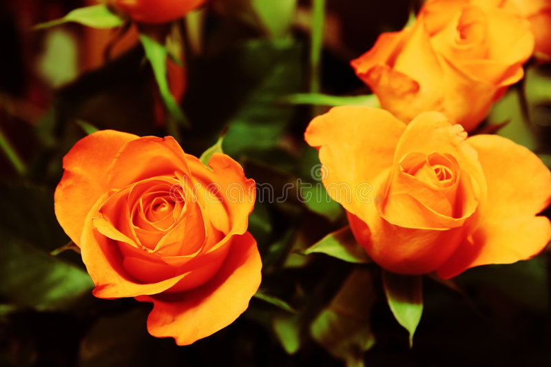 Download Bunch Of Roses 1 Stock Images - Image: 5179664