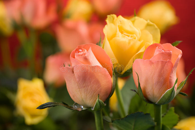 Bunch of roses royalty free stock images