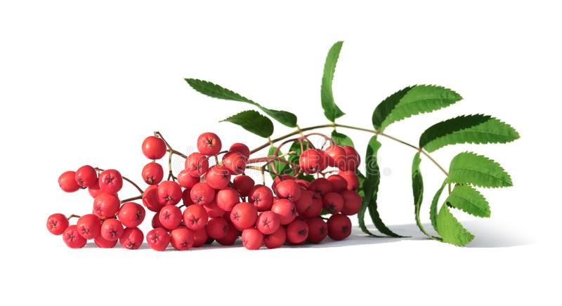 Bunch of rowan berries or mountain ash isolated on white. Closeup stock photography