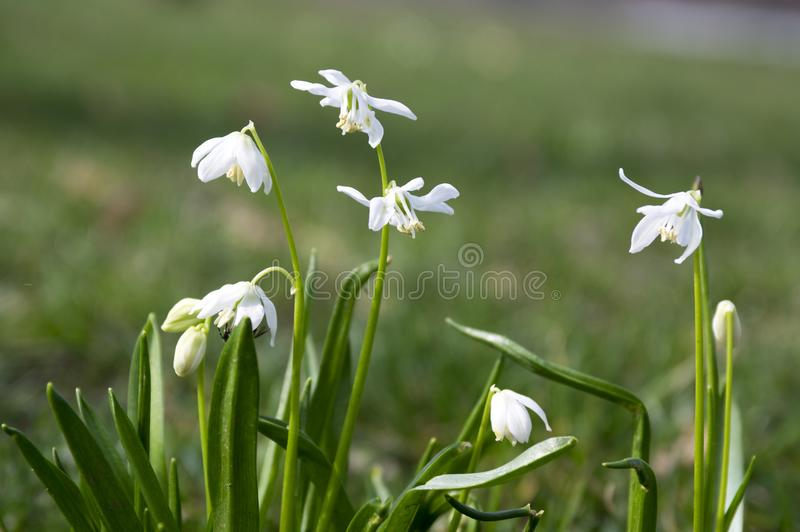 Bunch of scilla siberica early spring white flowers in bloom in download bunch of scilla siberica early spring white flowers in bloom in garden bed stock mightylinksfo