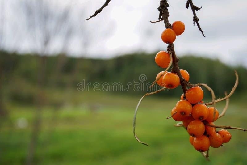 Bunch of sea buckthorn. Green, background, orange, day, nature, garden, village, trees royalty free stock photo