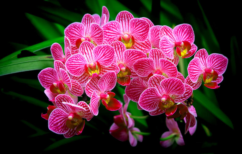 Bunch of small pink phalaenopsis orchids royalty free stock images