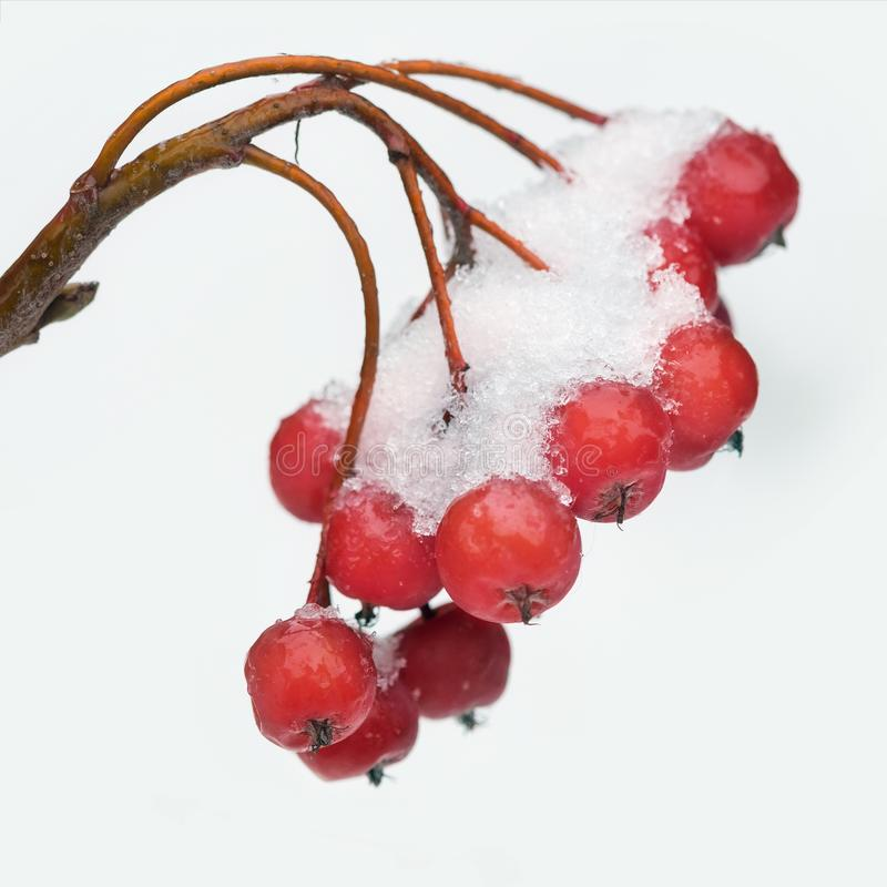 Bunch the snow-covered rowanberry on white background stock photo