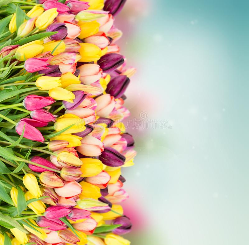 Bunch of spring tulips on blue. Bunch of spring multicolored tulips border on blue bokeh background royalty free stock image