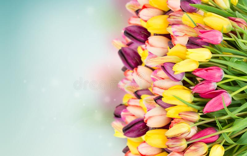 Bunch of spring tulips on blue. Bunch of spring multicolored tulips border on blue bokeh background banner royalty free stock photos