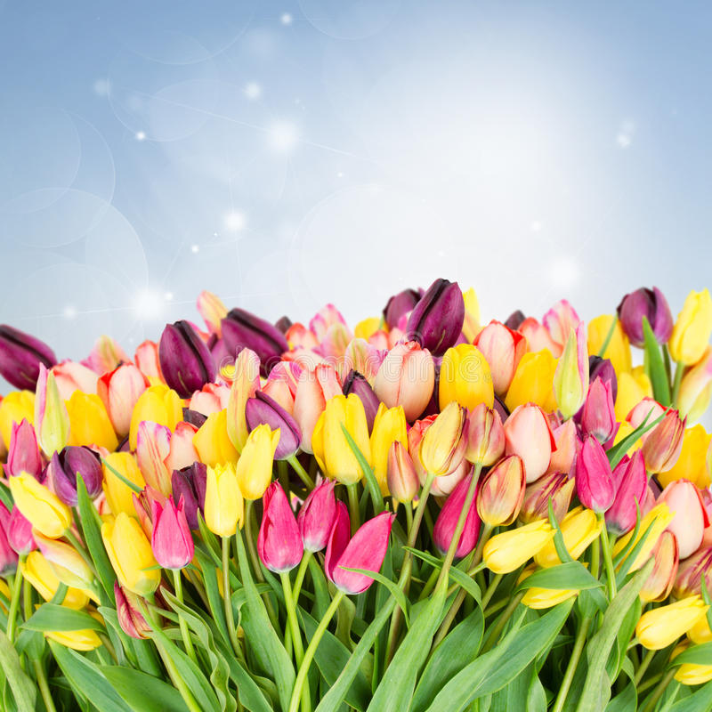 Bunch of spring tulips on blue. Bunch of spring multicolored tulips on blue bokeh background royalty free stock photography