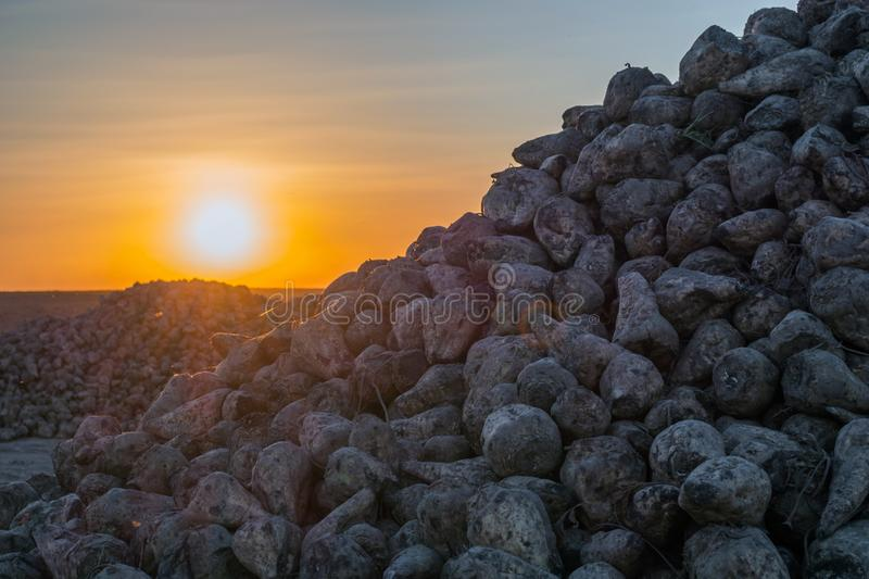 A bunch of sugar beets at sunset. the lights of a sun royalty free stock images