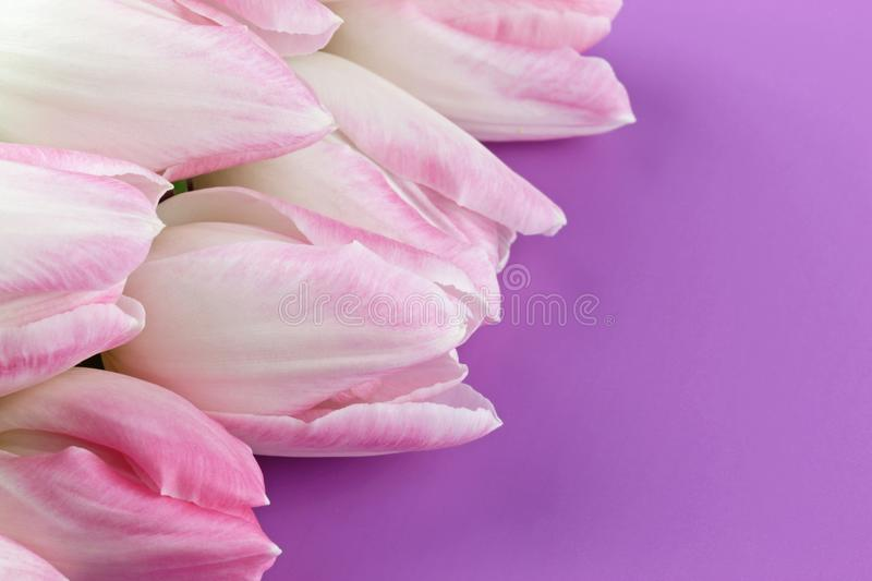Bunch of tender white tulips on purple background royalty free stock images