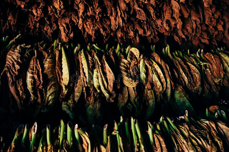 A bunch of tobacco leaves hang to dry in Vinales, Cuba. stock photos