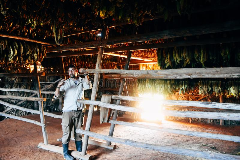 A bunch of tobacco leaves hang to dry in Vinales, Cuba. A bunch of tobacco leaves hang to dry in a tradition hut in Vinales, Cuba stock photography