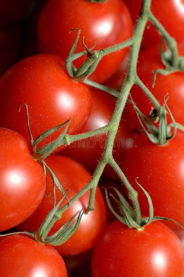 Bunch of tomatoes on a sprig. Shot on a white background royalty free stock images