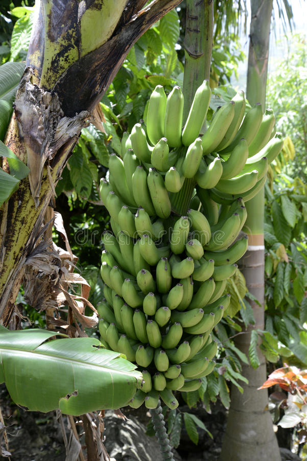 Bunch of unripe bananas on a plant royalty free stock images