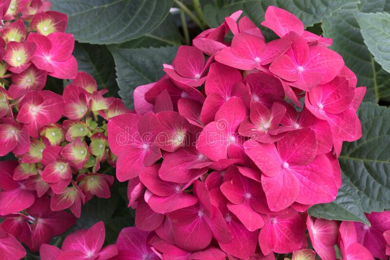 Bunch of vibrant pink blooming Hydrangea flowers. Red hydrangea flowers in a city park. Close-up of a spherical inflorescence of. Red hydrangea in the garden stock photo