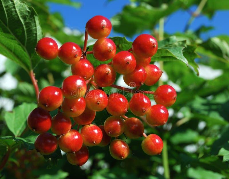 Bunch of viburnum berries stock photography