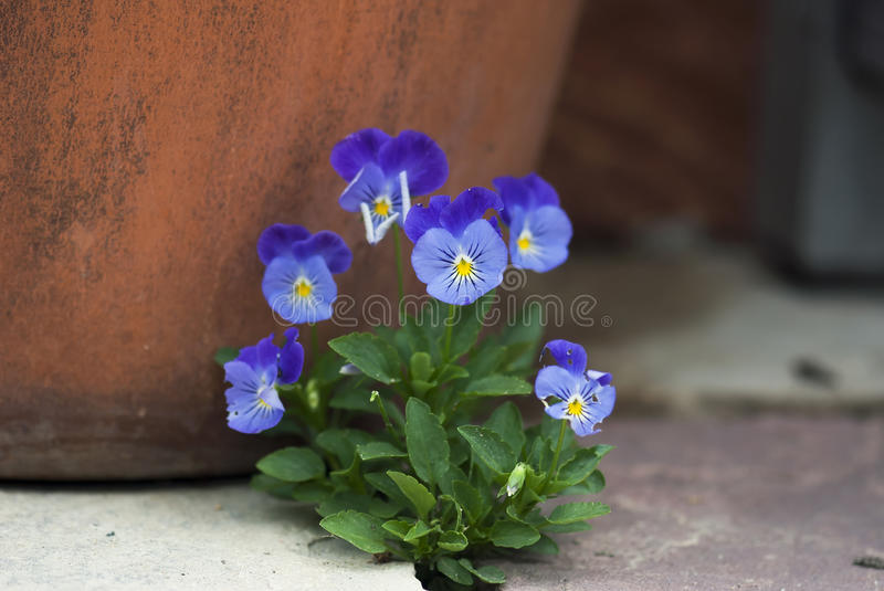 Bunch of Violas. A bunch of purple violas bloom against a terracotta pot royalty free stock image