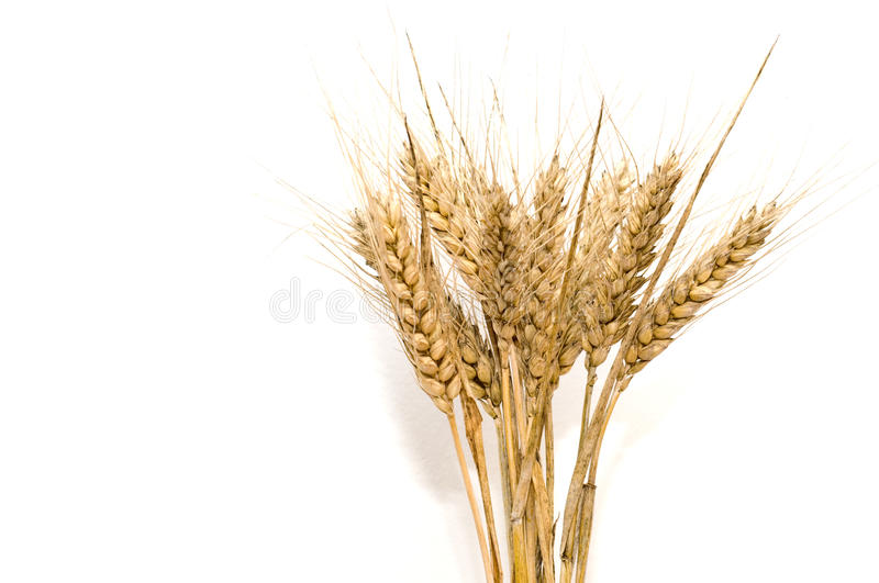 Bunch of wheat spikes