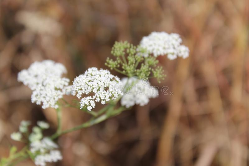 Bunch of white flowers clicked on mountain top. With brown background and green buds royalty free stock image
