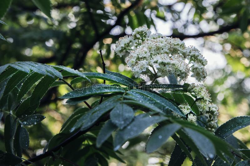 A bunch of white flowers of mountain ash on a branch with green elongated leaves. Close-up royalty free stock photos