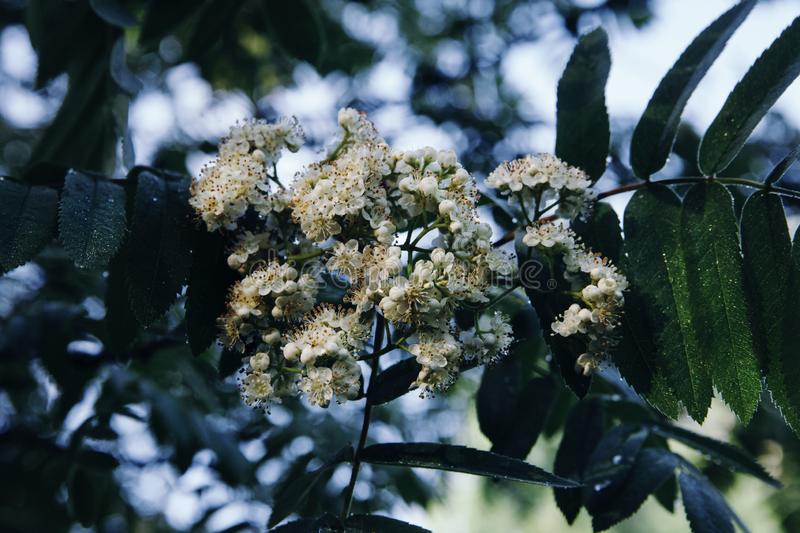 A bunch of white flowers of mountain ash on a branch with green leaves. Close-up stock image