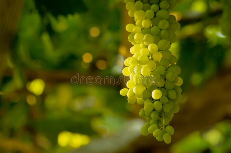 A Bunch Of White Grapes Stock Photo